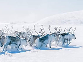 Magical 4-Day Norwegian Reindeer & Northern Lights Experience for One