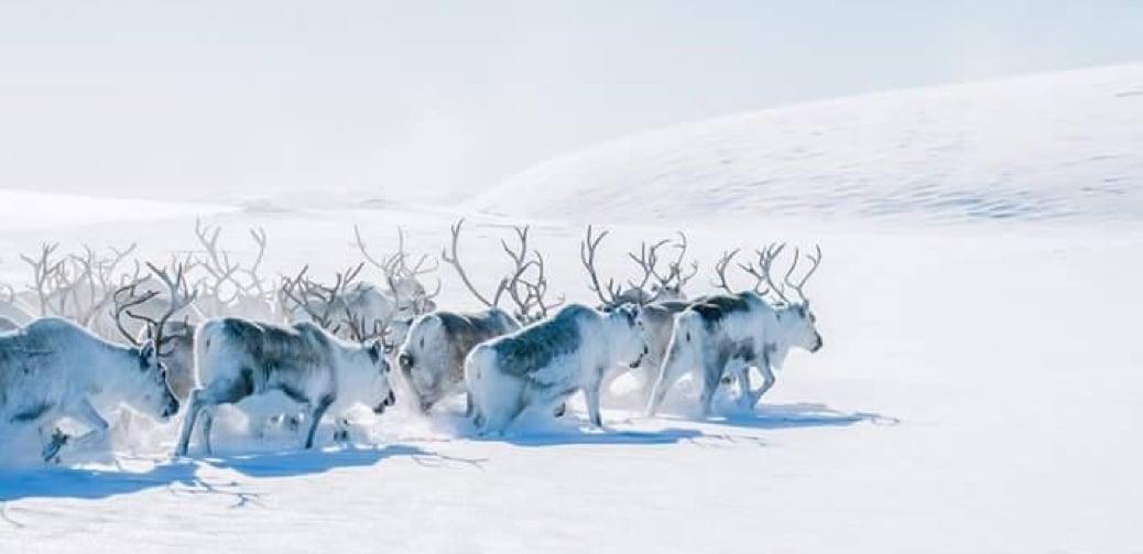 Visit Natives 4 Day Sami & Reindeer Experience in Norway